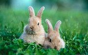 Племенные кролики.  Бельгийский великан-фландр.