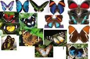 Куплю бабочек