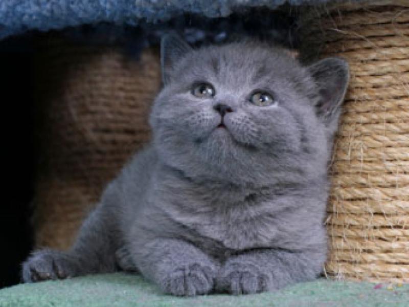 Купить шотландского кота краснодар