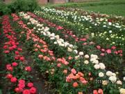 Продаем привитые кусты роз (оптом и в розницу) ст.Кущевская