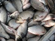 Продаём свежую рыбу.Карп.Толстолобик.