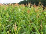 Продаем на постоянной основе кукурузу фуражную.