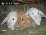 Кролики вислоухие из