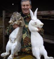 Продаю на племя кроликов порода Бельгийский великан Фландр,