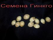 Свежайшие семена Гинкго билоба (Ginkgo biloba) и др.