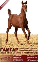 Арабский чистокровный жеребчик Гамгар
