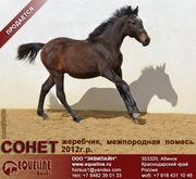 Продается жеребенок 2012 г.р. Сонет