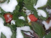 Cаженцы  садовой земляники ремонтантной  и однократного плодоношения