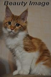 котята мейн кун. Самые крупные домашние кошки