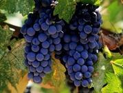 Винный сорт винограда оптом цена 20 руб.