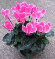 Цикламен – многолетний цветок для продажи к 8 марта