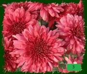 Черенки хризантемы. Опт и розница.