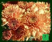 Каскадная  хризантема!