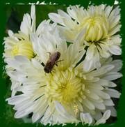 Черенки шаровидной комнатной хризантемы оптом и в розницу.