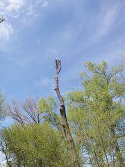 Спил деревьев любой сложности. Обрезка веток. Вывоз. Качественно и без