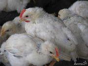 Адлерская Серебристая подрощенные цыплята