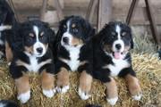 Чистокровные щенки Бернский зенненхунд