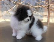 Кукольный щеночек померанского шпица РКФ