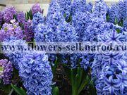 Гиацинт – живой цветок в горшке к 8 марта. Большой выбор расцветок