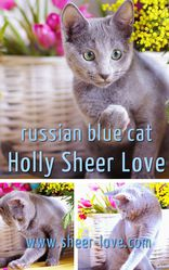 Holly Sheer Love - русский голубой котенок от Чемпиона Мира WCF