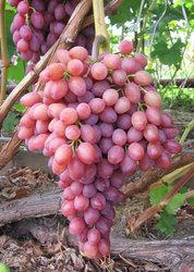 Весенние саженцы винограда