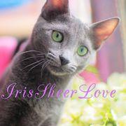 Iris Sheer Love - русский голубой котенок от Чемпиона Мира WCF в Сочи