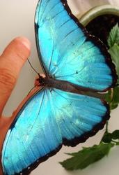 Продажа Живых тропических бабочек Голубых Морф