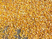 Кукуруза оптом с элеватора