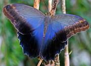 Живые тропические бабочки Caligo Memnom  Бабочки Лучший подарок!