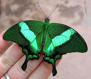 Тропические Живые Бабочки изТайланда