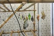 Высоко прпбыльный бизнес ферма Живых Экзотических Бабочки изКоста Рикки