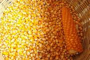 Семена кукурузы Краснодарская 291,  СКАП 251 СВ,  СКАП 302 СВ