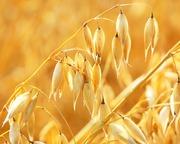 Семена ярового овса Валдин-765