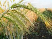 Семена ярового тритикале Хлебороб