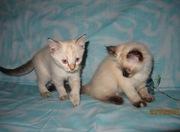 Тайские (традиционные сиамские) котята