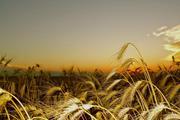 Семена озимой пшеницы Антонина,  Веха,  Гром,  Таня,  Юка и др.
