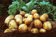Ранний картофель,  урожай 2019 год
