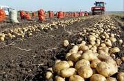 Продаем картофель оптом Краснодарский край.урожай 2019
