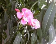 Продается комнатное растение Олеандр (лат. Nerium)